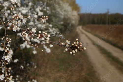 mirabelka, kwiaty, krzew, białe kwiaty, kwiaty mirabelki, wiosna, kwitnąca mirabelka, wieś, kwitnące krzewy, pączki kwiatów,