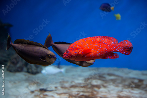 Coral hind grouper (Cephalopholis miniata)  in the aquarium. Fototapet
