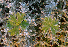 Top View Of Green Leaves Of Geranium Pusillum Covered With Hoarfrost Growing In Nature At Sunset In Winter