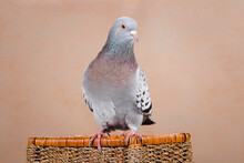 The Blue Pigeon Sits On The Basket, Turning Its Head