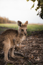 Side View Of Adorable Eastern Grey Kangaroo Joey Standing On Dry Ground Near Grassy Meadow In National Park In Australia