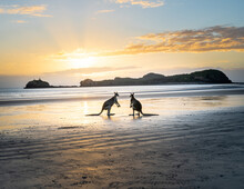 Side View Of Kangaroos Fighting With Each Other On Wet Beach Near Ocean On Background Of Sundown Sky In Australia