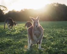 Herd Of Cute Red Kangaroos Grazing On Green Grassy Meadow Near Forest Against Sunset Sky In Australia