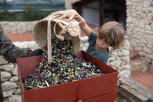Concentrated Little Boy Emptying Wicker Basket With Picked Ripe Olives Into Metal Box While Helping Crop Anonymous Father During Harvesting Season In Countryside