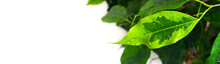 Banner: On A White Background, A Leaf Of A Houseplant Ficus Benjamin In Dew Drops. Houseplant Care