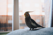 Side View Of Funny Exotic Cockatiel Bird Standing On Sofa Placed Near Window In Modern Apartment