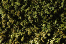 Top View Of Textured Background Of Green Buds Of Cannabis Placed On Table