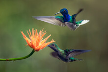 Two Hummingbirds Flying Around An Orange Flower. Amazing Scene From Costa Rica, Central America. Such A Beautiful Birds, Very Fast, Curious And Colorful.