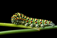 Swallowtail Butterfly (Papilio Machaon) Caterpillar Isolated On Black Background