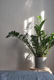 Zamioculcas or Zanzibar gem, ZZ plant, Zuzu plant grown at the nursery