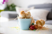 Cute Little Newborn Chicks In A Bucket And Easter Eggs