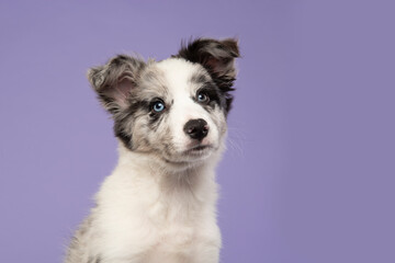 Portrait of a young border collie puppy looking up on a purple background