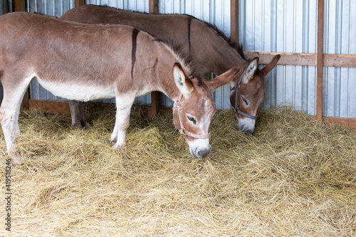 Slika na platnu Two donkeys on a farm in Michigan on a summer day