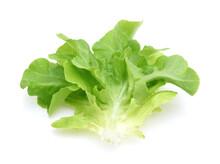 Green Oak Lettuce Leaves Isolated On White Background