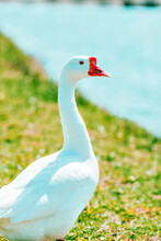 White Goose In The Grass