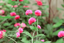 The Stiff, Pom-pom Shaped Flowers Of Globe Amaranth Look Glorious In Garden. Natural Background.