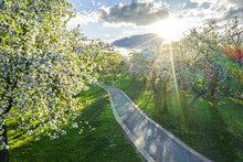 Blossoming Apple Orchard In Spring. Rays Of The Sun At Sunset Break Through The Branches Of Apple Trees.