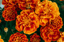 Beautiful Orange-yellow Marigolds Close-up. Bright And Colorful Garden Flowers. Selective Focus, Blurred Background.