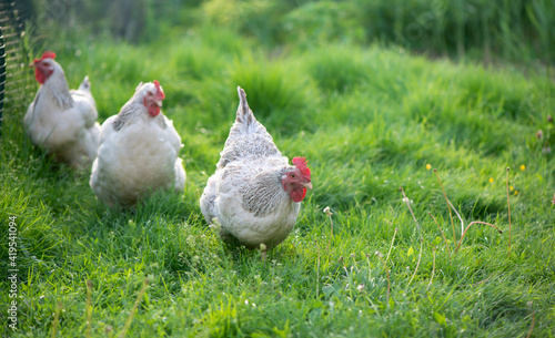 Canvas Print Rooster and Chickens. Free Range Cock and Hens