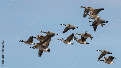 Fotografia, Obraz Canadian Geese in flight formation