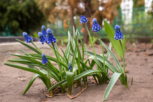 Blue Muscari Flowers Close Up. Grape Hyacinth (Muscari Armeniacum) Blooming In The Spring