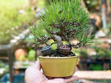 Bonsai Small Japanese Black Pine Holding In Hand