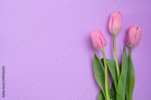 Fototapety, obrazy: Three pink tulips lie on a pink background, copy-space