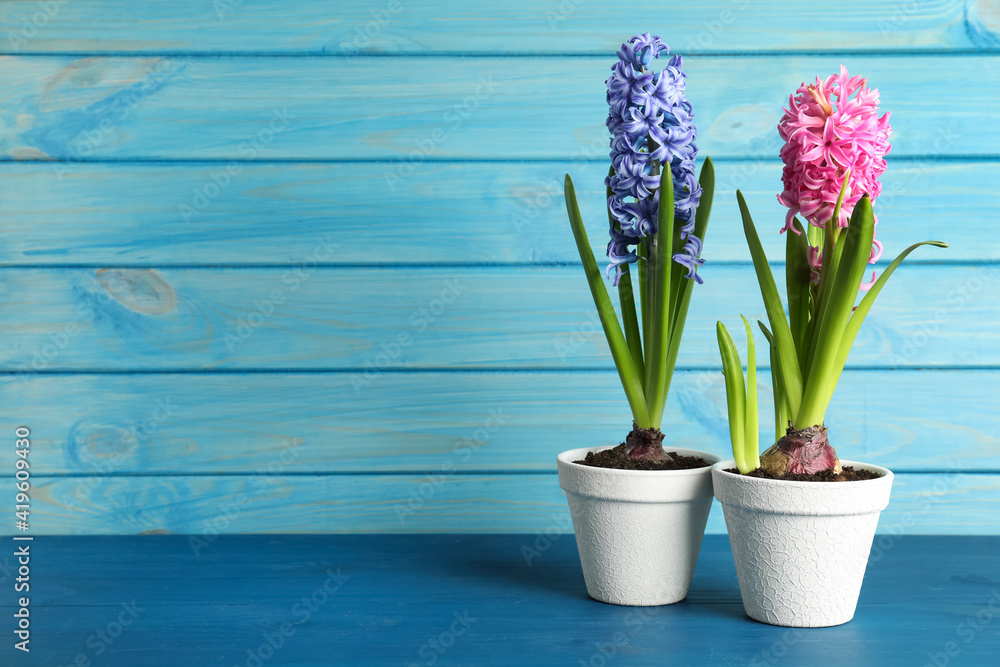 Fototapeta Different beautiful potted hyacinth flowers on blue wooden table. Space for text