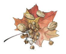 Watercolor Illustration. Nuts On A Maple Leaf Isolated On A White Background. Walnut. Hazelnut.