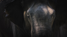 Close-up Moody Portrait With Dramatic Light And Shadow Showing Texture And Detail Of A Sri Lankan Elephant (Elephas Maximus Maximus) Trunk In The Jungle Of Udawalawe National Park, Sri Lanka.