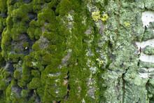 Lime Yellow And Mint Green Lichen And Moss On Gray Bark Of Populus Alba