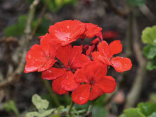 Red Bedding Geranium Flowers With Water Droplets From The Rain. Red Bedding Geranium Growing In A Garden