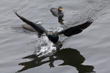 A Great Cormorant (Phalacrocorax Carbo) Landing In Water.