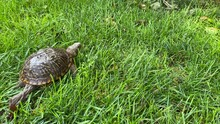 Male Western Box Turtle Walking Through Grass
