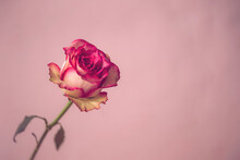 Selective Focus Shot Of A White Rose With Pink Edges On The Pink Background