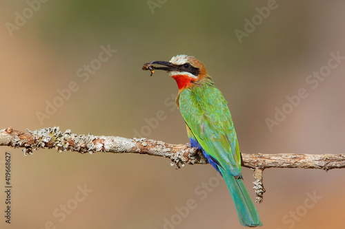 White-fronted Bee-eater (Merops bullockoides) with an insect as a prey sitting on a branch in Zimanga Game Reserve near Mkuze in South Africa