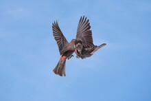 House Finch (Carpodacus Mexicanus) Territorial Clash