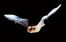 Common Serotine Bat, Eptesicus Serotinus, In Flight
