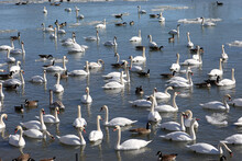 Mute Swan Flock With Some Canada Geese Wintering In A Bay In Northern Ontario Being Fed By People