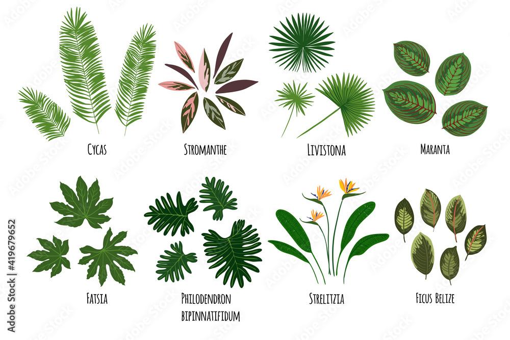 Fototapeta Leaves of tropical plants on a white background. Green jungle. Cycas, stromanthe, livistona, maranta, fatsia, strelitzia, ficus belize