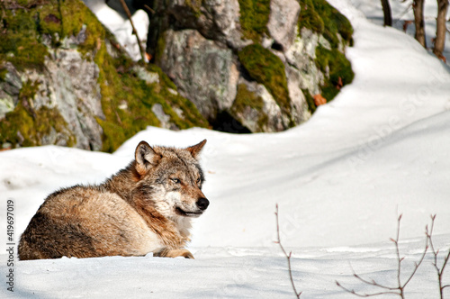 Obraz na plátně Majestic wolf in a winter landscape