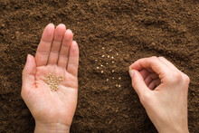 Young Adult Woman Hand Holding And Planting Tomato Seeds In Fresh Dark Brown Soil. Closeup. Preparation For Garden Season In Early Spring. Point Of View Shot. Top Down View.