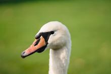 Mute Swan, Cygnus Olor, Adult, Close Up