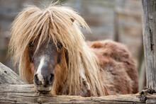 Beautiful Brown Pony Horse, Eye Contact. Outdoor Portrait, Farm Life, Rural Bulgaria