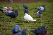 Portrait Of White Dove Standing Outdoors Among Flock