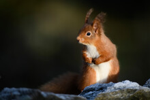 Red Squirrel Looking Away While Sitting On Branch During Sunny Day