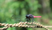 Close Up Of A Red Color Dragonfly On A Rope
