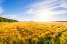 Scotland, East Lothian, Field Of Barley (Hordeum Vulgare)