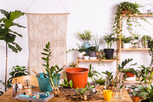 Flower Pot And Zamioculcas Zamiifolia Plant With Gardening Equipment On Table At Home