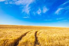 UK, Scotland, East Lothian, Tractor Tracks In Field Of Barley (Hordeum Vulgare)